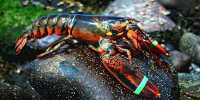 Scientists Got Lobsters Stoned to See if it Eased their Death