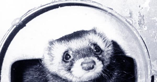 Felicia the Diaper-Wearing Ferret was Sent into a Particle Accelerator for Science