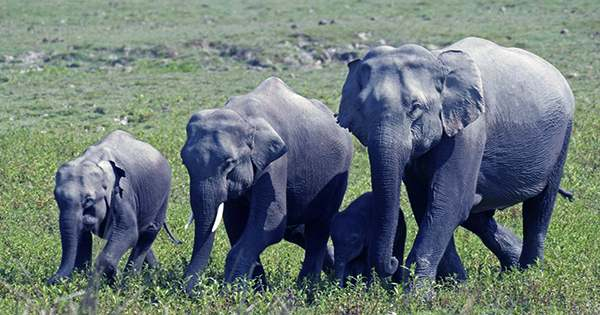 How the Elephant Got its (Surprisingly Mysterious) Squeak