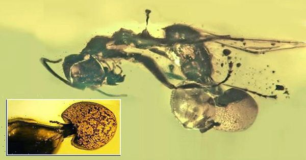 Mushroom-Growing-Out-of-an-Ancient-Ants-Butthole-is-New-Fungal-Species-1