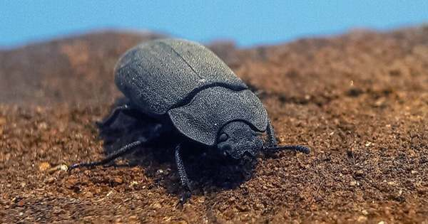 New Beetle is First Insect Discovered from 230-Million-Year Old Fossilized Poop