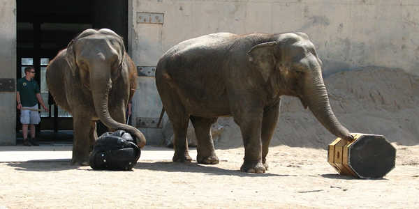 Psychologists-Shows-Elephants-have-Personalities-to-Solve-Problems-1