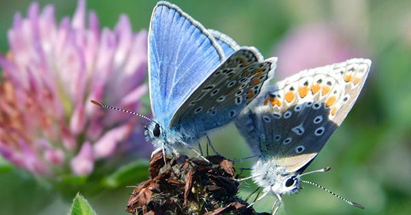 93-Year-Old Butterfly is the First US Insect to Go Extinct Because of Humans
