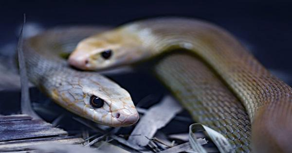 A Man Once Spent 72 Hours Trapped with Deadly Snakes to Prove they're Friendly