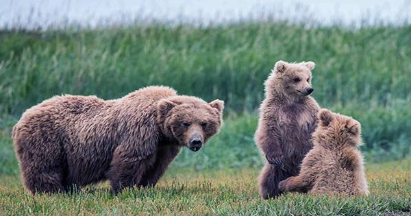 Alaskan Bears Trail Meters-Long Tapeworms from their Butts Surprisingly Often