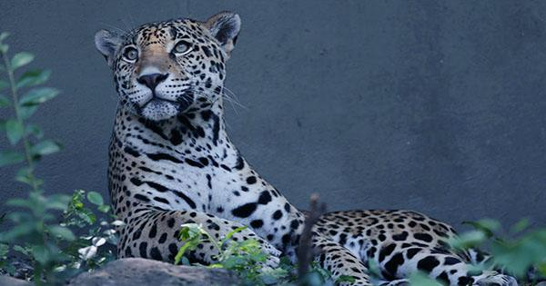 Florida Man Sticks Hand into Zoo Enclosure and Taunts Jaguar, Gets Severely Clawed