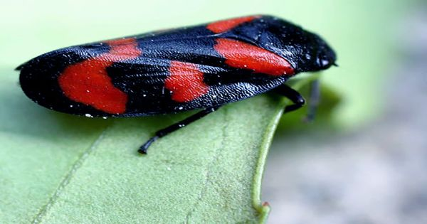 Froghoppers' Urinating Super Powers Matched by their Impressive Sucking Skills