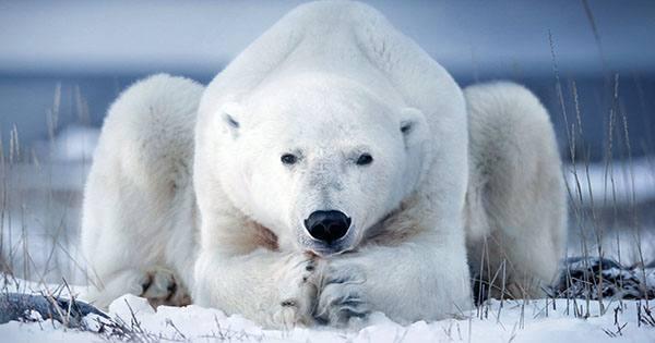 Polar Bears May Use Ice Blocks as Tools to Bonk Unsuspecting Walruses on the Head