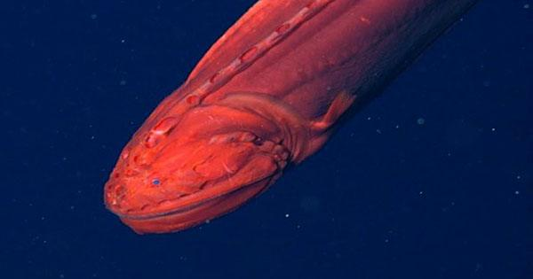 Shape-Shifting Whalefish that Dissolves into Sperm Delivery Service Caught On Camera