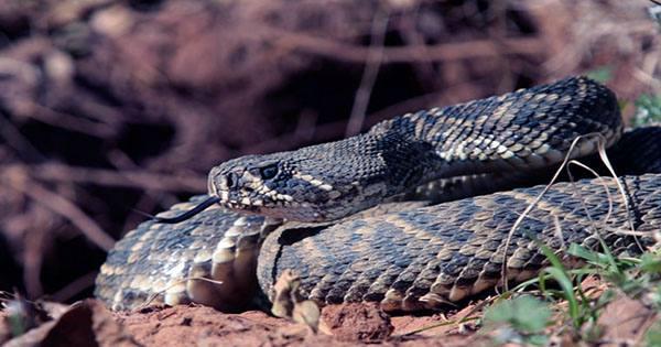 Snakes Help Scientists Keep Tabs On Fukushima's Radioactive Soil Contamination