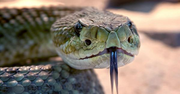 Why Snakes Have Fangs and Other Venomous Animals often don't
