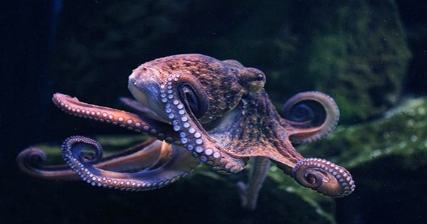 Annoyed Octopuses Pelt Each Other with Debris