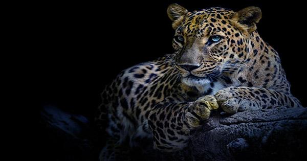 Captive Leopard Attacks and Injures Model during Photoshoot in Germany