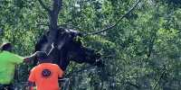 Cow Swept Up in Hurricane Ida Gets Freed from in a Tree