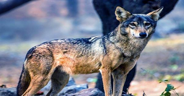Indian Wolf Possibly the most Endangered and Ancient Wolf Lineage on Earth