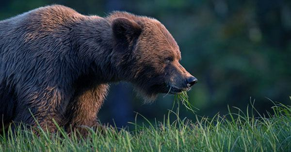 Largest Bear in Katmai National Park Brushes Past Tourists in Close Encounter