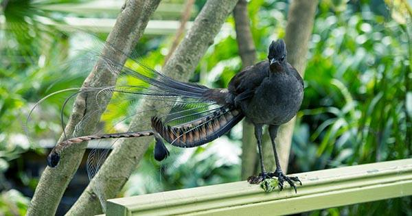 Listen to this Lyrebird at Australian Zoo Perfectly Mimic a Crying Baby, it's Uncanny