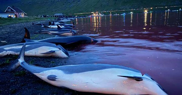 Over 1,400 Dolphins Slaughtered in Faroe Islands Hunt
