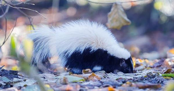 Scientists Double Number of Species of Adorable Hand-Standing Spotted Skunks