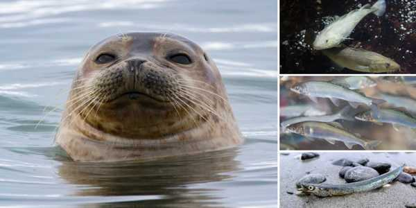 Seals-and-other-Arctic-Predators-are-Literally-Running-out-of-Food-1