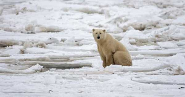 Seals and other Arctic Predators are Literally Running out of Food