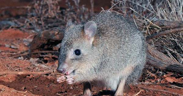 The Bandicoot is Back as Adorable Australian Marsupial Returns from Brink of Extinction