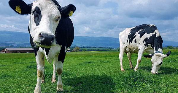 Toilet-Training Cows is a Win for the Planet – and the Cows
