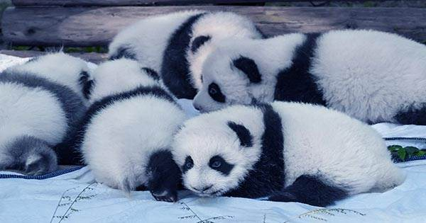 Watch-Giant-Panda-Twins-Coming-into-the-World-Like-Screaming-Pink-Jelly-Beans-1