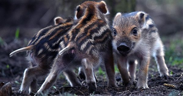 Wild Boars Caught on Camera Rescuing their Buddies from a Trap